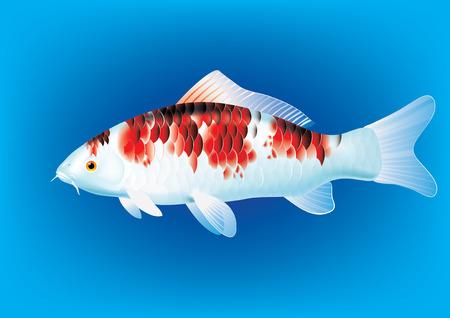 koi carp: illustration of koi carp breed Koromo