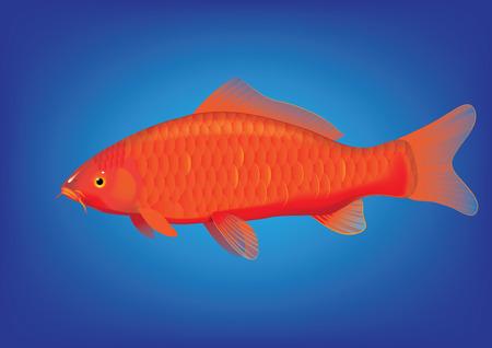 illustration of koi carp breed Ogon Ilustracja