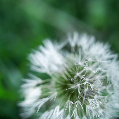 dandelion: White dandelion in the dew blurred background Stock Photo