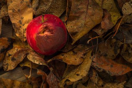 putrefy: autumn red apple closeup of a little rotten
