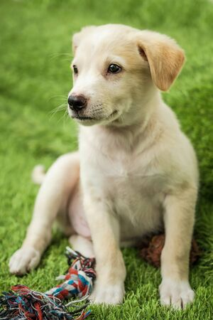 Portrait of Happy brown cute Labrador Retriever puppy with foliage bokeh background. Head shot of smile dog with colorful spring leaf Foto de archivo - 133572173