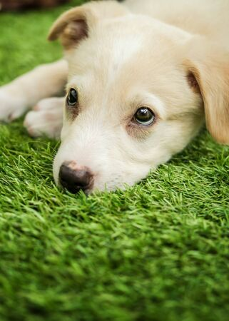 Portrait of Happy brown cute Labrador Retriever puppy with foliage bokeh background. Head shot of smile dog with colorful spring leaf Foto de archivo - 133572176