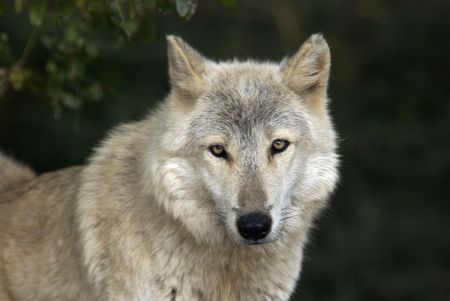 Gray Wolf Portrait in Natural Habitat Stock Photo