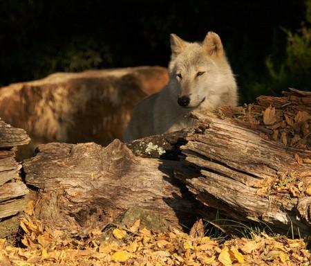 gray wolf: Gray Wolf Portrait in Natural Habitat Stock Photo