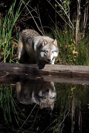 Gray Wolf Portret in de natuurlijke habitat Stockfoto
