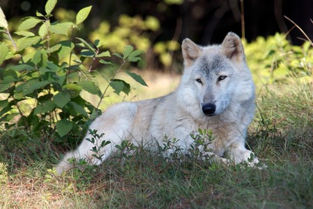 gray wolf: Gray Wolf in Natural Habitat