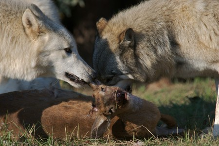 recently: Gray Wolves starting to eat a recently hunted deer.