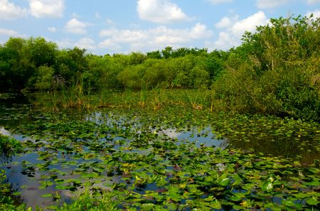 sawgrass: View of Water lilies in Shark Valley Visitor Center, Everglades National Park, Florida, USA