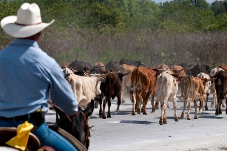 longhorn: Cowboy driving cattle in a farm, use of selective focus. Stock Photo