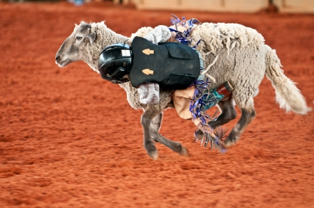 busting: Kid in Mutton Busting competence at rodeo.