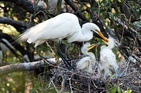 migratory birds: Great white egret feeding chicks in the nest in Florida. Stock Photo