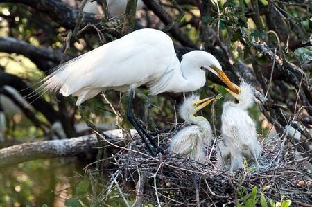 Groot wit zilver reiger voeding kuikens in het nest in Florida. Stockfoto