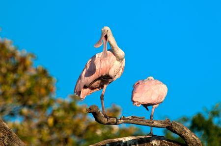 roseate: Roseate Spoonbill perched in a tree in florida against blue sky. Scientific name Platalea ajaja.
