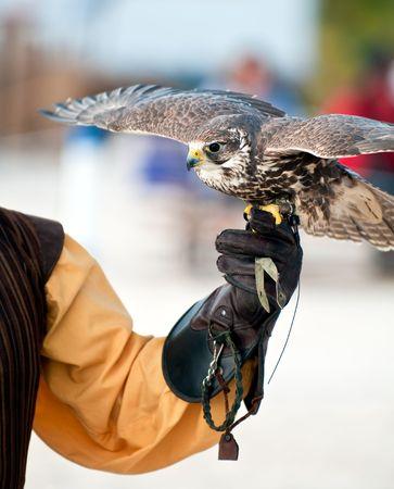 Falcon perched on handlers glove ready to fly. Zdjęcie Seryjne - 6366115