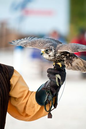 handlers: Falcon perched on handlers glove ready to fly. Copyspace. Stock Photo