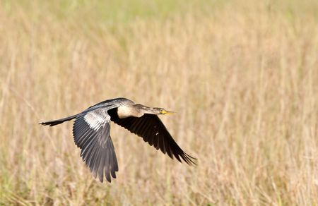 Anhinga in flight. The Anhinga (Anhinga anhinga), is a water bird of the warmer parts of the Americas. .It is a cormorant-like bird. photo