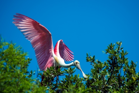 roseate: Roseate Spoonbill perched in a tree with open wings Stock Photo
