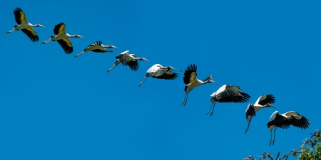 Sequence of Wood Stork in flight landing photo