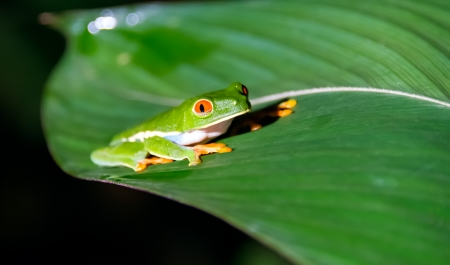 Red eyed tree frog taken in the widlife at Night in Costa Rica photo