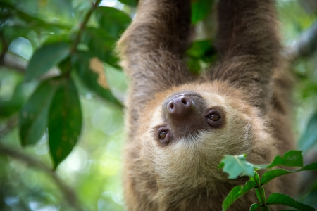 Two-toed sloth hanging from a tree in the jungle in Costa Rica. Stock Photo