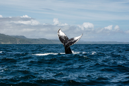dominican: Humpback whale tail in Samana, Dominican republic Stock Photo