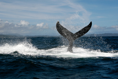 humpback whale: Humpback whale tail in Samana, Dominican republic Stock Photo