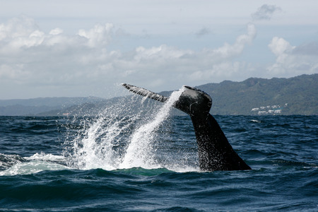 Humpback whale tail in Samana, Dominican republic Stock Photo