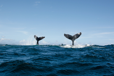 Double Humpback whale tail in Samana, Dominican republic