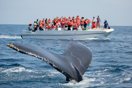 Humpback whale tail in Samana, Dominican republic and torist whale watching boat 스톡 콘텐츠