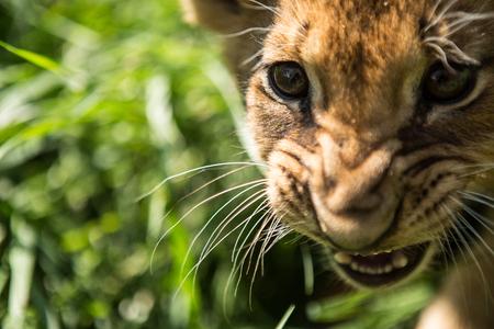 Portrait of lion cub in lion park Taigan, Crimea, Russia Stock Photo