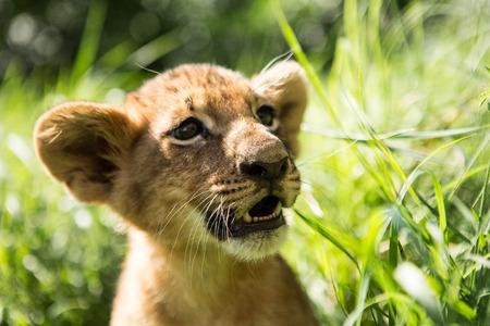 Portrait of lion cub in lion park Taigan, Crimea, Russia 写真素材
