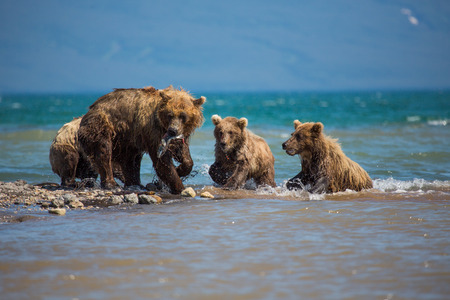 The family of bears, mother caught a fish, Kuril lake, Kamchatka