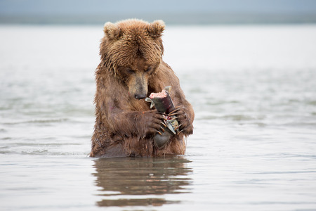 The bear was caught and eat fish salmon^ Kuril Lake, Kamchatka