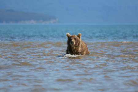 Bear looks for fish in water, Kuril lake, Kamchatka