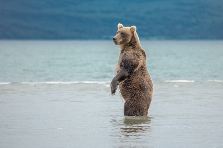 The bear stands on its hind legs, Kuril lake, Kamchatka