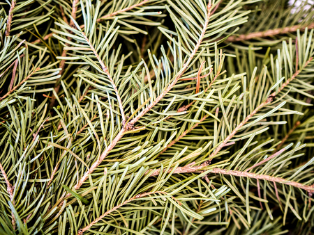 spruce tree needles texture image