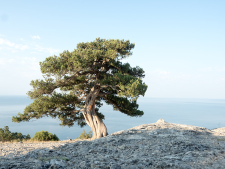 Old juniper on the crimean hill 스톡 콘텐츠