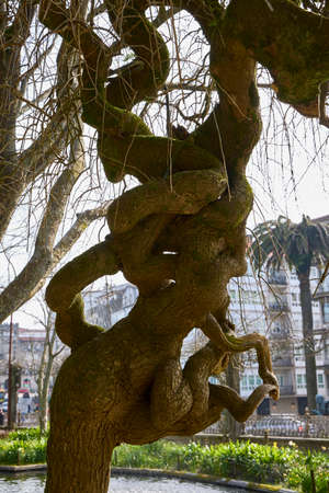 Curious knots of wood in a tree trunk
