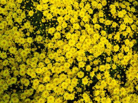 Yellow daisy bloom in summer
