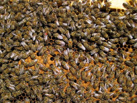 brood: bee hive frame honeycomb with worker bees, queen bee, larvae and brood Stock Photo