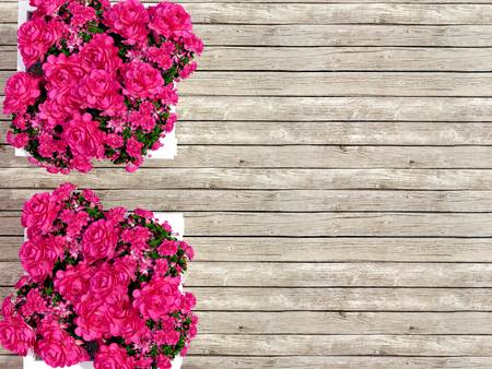 upmarket: Two pots with roses on the backyard. Stock Photo