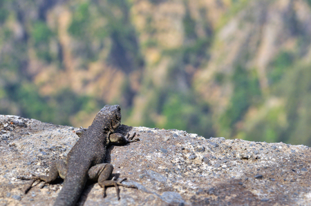 Lizard on the rock. Madeira island.