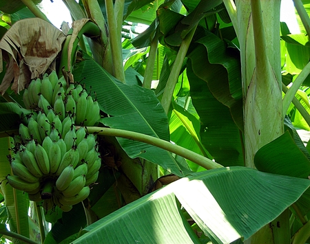 Banana trees are fruiting photo