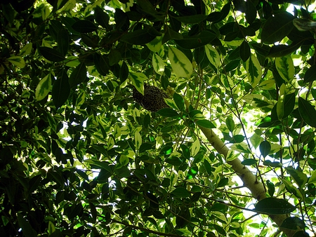 Bee nest under the tree photo