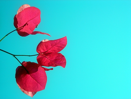 Bougainvillea flowers on blue sky background photo