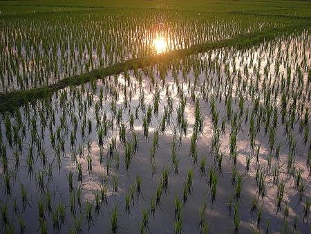 grazer: Lush green rice field, In Asia