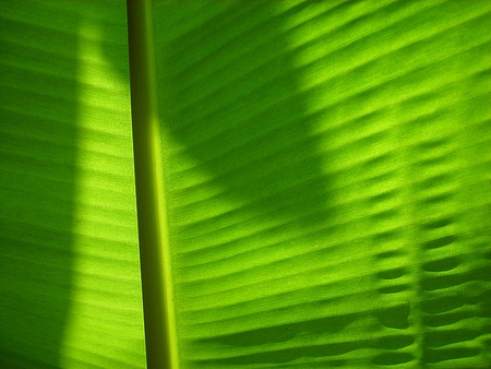 Texture of a green leaf as background (banana leaves) photo