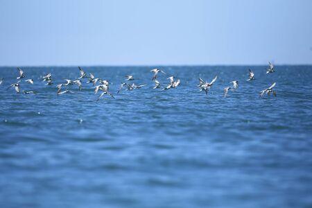 Bird in flight - Black-naped Tern Juvenile (Sterna sumatrana)