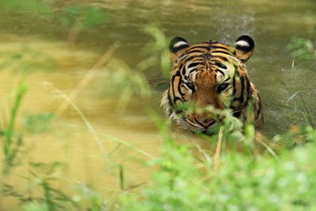 el tigre (Panthera Tigris) es la especie de gato más grande, más reconocible por su patrón de rayas verticales oscuras sobre pelaje naranja rojizo con una parte inferior más clara Foto de archivo