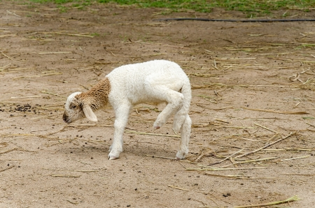naivety: baby sheep